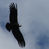 50. Arequipa - Condors - Colca Canyon