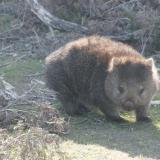 Wombat - Tasmanie - Australie