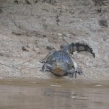 11. Trajet en pirogue - Alligator - Pampa - Rurre - Bolivie